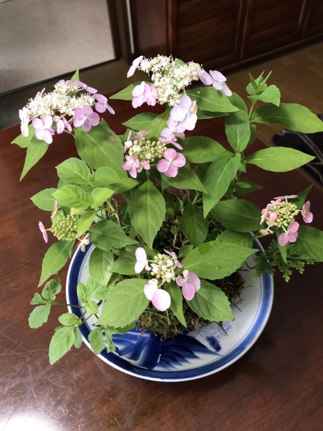 苔玉の山紫陽花が立派に育ちました