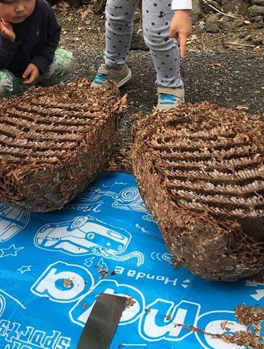 スズメバチの巣は樹皮でできている